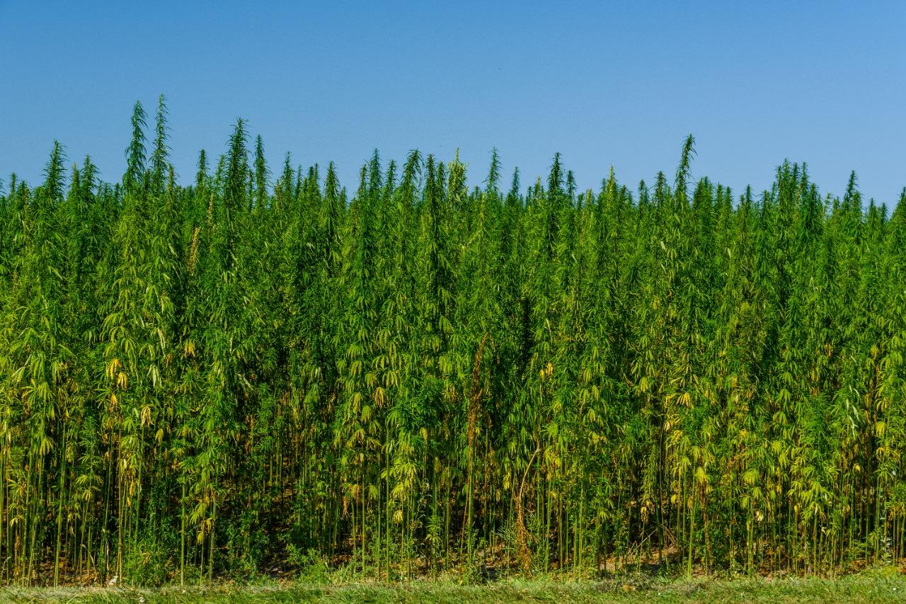 En el Senado se tramita Proyecto de Ley que podría dar cabida a pequeños, medianos y grandes productores de cáñamo en el país. Espaldarazo a la economía