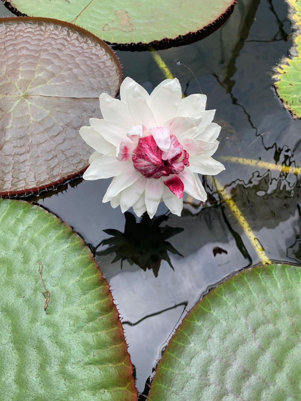 Floreció Victoria amazónica en los invernaderos del Jardín Botánico de Bogotá